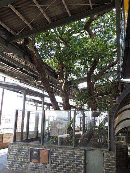 Старое дерево.