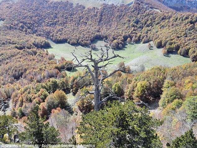 Самое старое дерево Европы.
